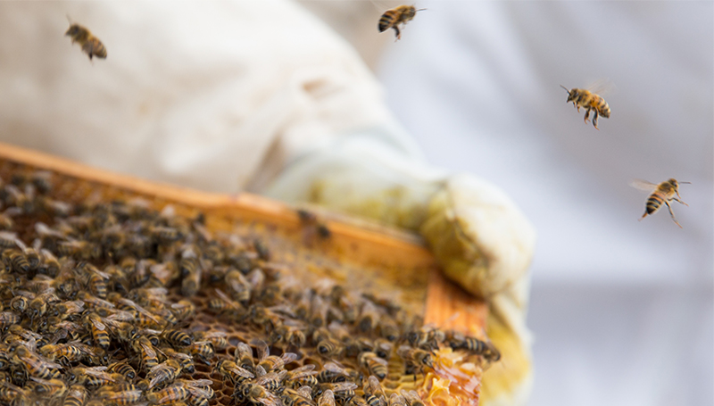 True Beelievers: Hives on prairie land produce research opportunities